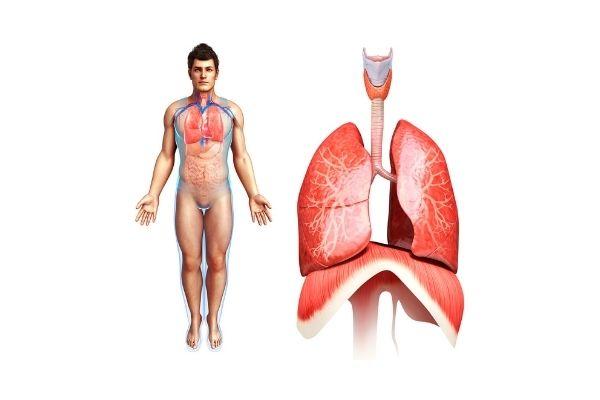 diaphragme - respiration